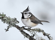 European Crested Tit (Lophophanes Cristatus) In Winter Searching For Food.
