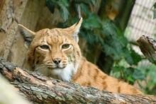 Resting Carpathian Lynx (Lynx Lynx Carpathicus).