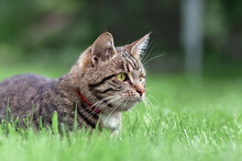 Gray Tabby Domestic Cat Lying On The Grass In Garden