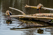 Two Egyptian Geese Standing On The Tree Trunks On Lake