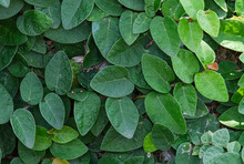 Fresh Creeping Fig Or Ficus Green Leaves Ivy On Wall. Natural Organic Pattern Plant Tree. Climbing  Beauty Growing Creeping With Copy Space.