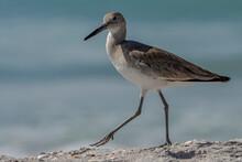Shorebird Along The Beach