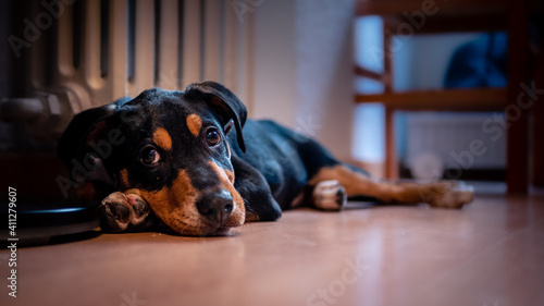 Foto Gorgeous black puppy dog ​​lying at home