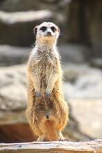 Close-up Of An Meerkat
