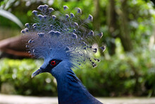 Beautiful Blue Victoria Crowned Pigeon