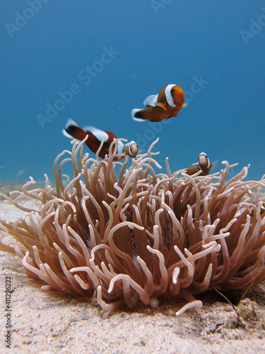 Clownfish Family In Their Anemone Home Fototapet