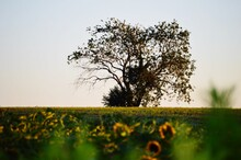 Tree On Sunflower Farm