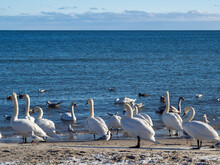 Swans, Gulls And Other Water Birds On The Sunny Winter Shore Of The Baltic Sea