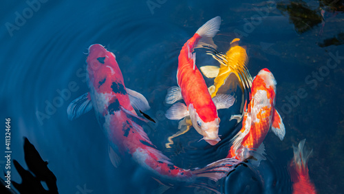 Fancy Koi fish or Fancy Carp swimming in a black pond fish pond. Popular pets for relaxation and feng shui meaning. © Superrider
