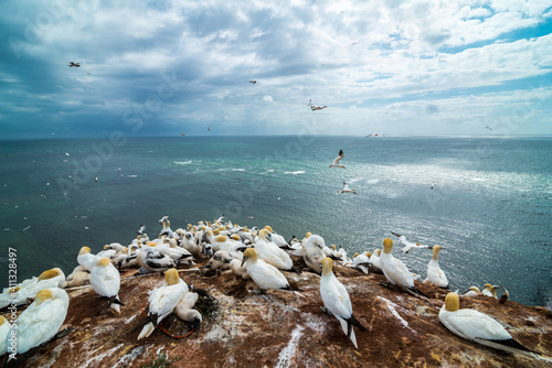 Northern Gannet (Morus bassanus) Colony on Helgoland, Germany Fotobehang