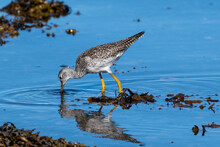 A Greater Yellow Legs Seabird Walking Along The Shoreline Of A Saltwater Beach. The Ocean Beach Is Covered In Seaweed And The Small Lanky Shorebird Has A Long Neck And Slightly Upturned Bill.