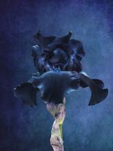 Dark Blue Iris Flower On Blue Vintage Background