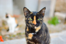 A Beautiful Green Eyed Stray Tortoiseshell Or Tortoise Shell Cat With A Blurred Calico Cat Behind In Split Croatia