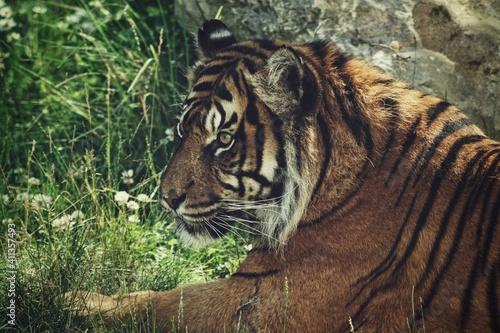 Fototapeta Portrait Of A Tiger In Zoo