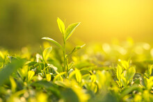 Close-up Of Plant Growing Tea Plant On Field