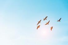 Mallard (ducks) Migration On Sky Blue In Korean Image.