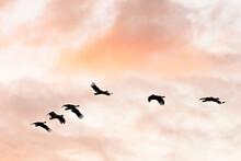 Flock Of Birds Flying At Sunset. Birds Silhouette