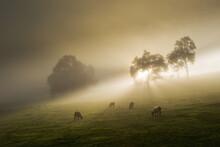 Sunrise, Cows On A Misty Morning