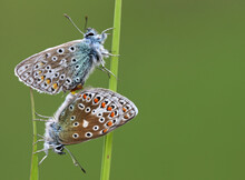 Two Butterflies Mating