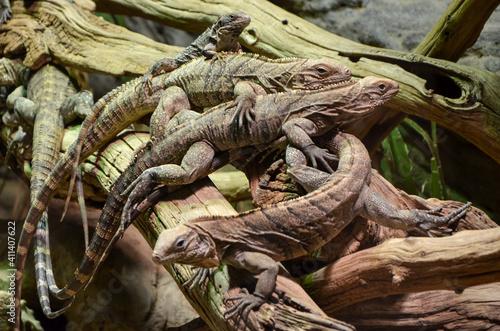 Fotografie, Obraz Close-up Of Lizards On Tree