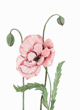 Graceful Pink Poppy With Unopened Buds