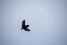 Crow In Flight In The Canadian Winter Sky