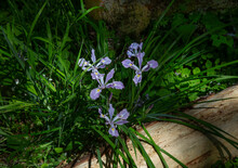 A Downward, Dappled Sunlit View Of A Cluster Of Purple Wild Iris