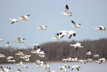 Snow Geese Flying With Other Swimming In The Background