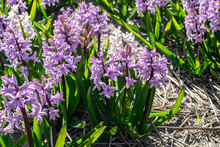 Lilac Hyacinths Close - Up Grow In The Garden. Flower Field With Straw Mulch And Spring Flowers Pink Hyacinths.