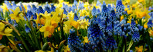 Blue And Yellow Spring Flowers Daffodils And Grape Hyacinths Are Always A Good Combination. Yellow Narcissus. Blue Muscari.