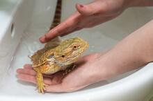 Bearded Dragon (Pogona Vitticeps) Taking A Bath In A Sink