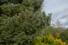 Dark Green Winter Foliage And On A Weymouth Or Eastern White Pine Tree (Pinus Strobus 'Kruger's Lilliput') Growing In A Garden In Rural Devon, England, UK