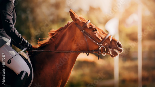 Portrait of a beautiful sorrel horse with a rider in the saddle, illuminated by bright sunlight Fototapeta