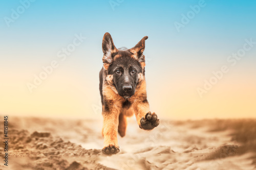 Fotografie, Obraz German shepherd puppy running at the beach with goofy ears, dog in action, happy