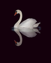 White Swan Sailing And Reflecting In Black Water.
