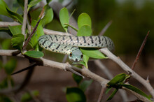 Variegated Bush Snake In A Tree