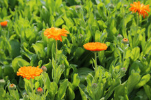 Flowers Of Common Marigold (Calendula Officinalis) Cultivated As A Medicinal Herb In Garden Bed