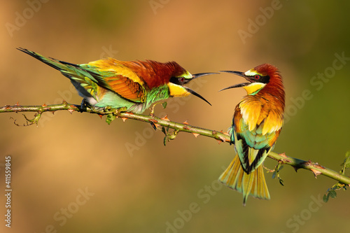 Fotografía Two european bee-eatesr, merops apiaster, dueling over territory on a rosehip twig with thorns