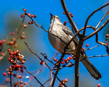 Mockingbird On A Branch With Berries