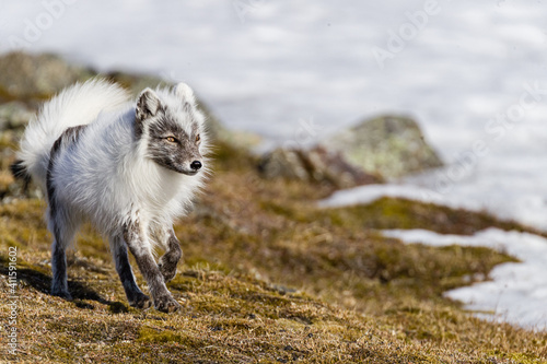 Fototapeta premium Shot on a trip to Svalbard/Spitsbergen onboard MS/Malmö in June 2019. Image of a arctic fox