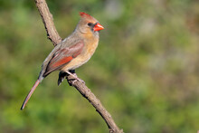 Colorful Female Cardinal Cardinalis Cardinalis Perched On A Branch