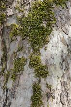 Moss On Tree Bark. Parque Das Termas Da Curia, Portugal