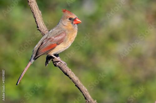 Fototapeta Colorful female cardinal Cardinalis cardinalis perched on a branch