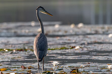 The Grey Heron Standing In The Shallow Water