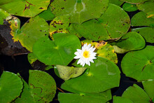 A Bright White Water Lily With A Yellow Carpel Center Floating. The Large Cuplike Flower Is Among Large Rich Green Lily Pads That Are Rounded, Variously Notched, Waxy-coated Leaves On Long Stalks.