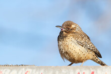 Cactus Wren Puffs Up While Perched On A Sign.