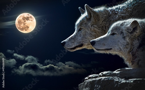 Photo wolf in the night