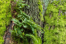Green Fern Leaves Grew Out Of Moss-covered Thick Tree Trunk In The Park