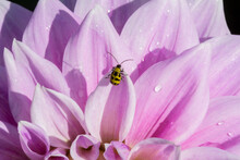 An Isolated View Of The Backside Of A Spotted Yellow And Black Cucumber Beetle Perched On A Pale Pink Dahlia