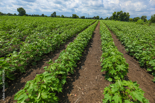 Foto Green cotton field in India